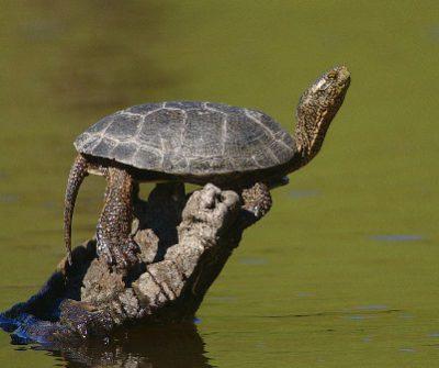 Pacific Pond Turtle